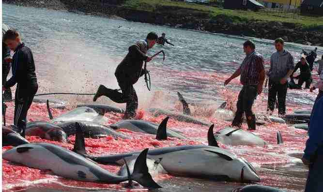 Picture of dolphins being killed
